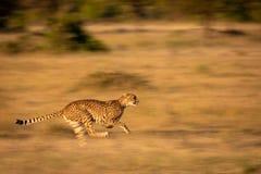 猎豹冲刺通过草的慢平底锅 免版税库存照片