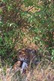 猎豹吞食飞羚 Eastest非洲 免版税库存图片