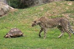 猎豹和乌龟 库存图片