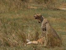 猎豹和牺牲者 库存图片