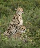 猎豹和崽猎豹属jubatus 图库摄影