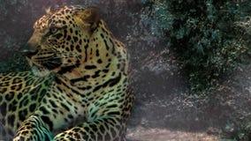 猎豹在动物园里 库存照片