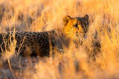 猎豹在埃托沙国家公园,纳米比亚 免版税库存图片