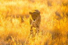 猎豹在埃托沙国家公园,纳米比亚 免版税图库摄影