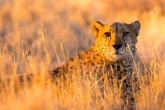猎豹在埃托沙国家公园,纳米比亚 库存照片