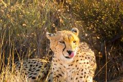 猎豹在埃托沙国家公园,纳米比亚 图库摄影