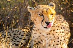 猎豹在埃托沙国家公园,纳米比亚 免版税库存照片