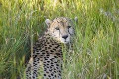 猎豹在深绿草坐并且注视着入照相机Lewa野生生物管理,北部肯尼亚,非洲 图库摄影
