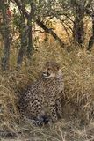 猎豹在Okonjima,纳米比亚,非洲 库存照片