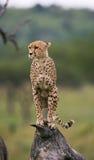 猎豹坐在大草原的一棵树 肯尼亚 坦桑尼亚 闹事 国家公园 serengeti 马赛马拉 图库摄影
