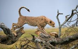 猎豹坐在大草原的一棵树 肯尼亚 坦桑尼亚 闹事 国家公园 serengeti 马赛马拉 免版税图库摄影