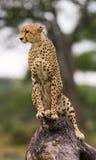 猎豹坐在大草原的一棵树 肯尼亚 坦桑尼亚 闹事 国家公园 serengeti 马赛马拉 免版税库存照片