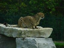 猎豹坐岩石壁架 免版税图库摄影