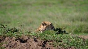 猎豹头从在小山的避难所看在非洲平原 股票录像