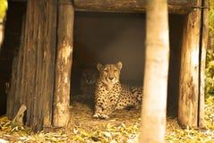 猎豹家庭在动物园里 免版税库存照片