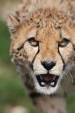 猎豹属猎豹jubatus 免版税库存照片