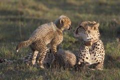 猎豹崽母亲 免版税库存图片