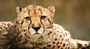 猎豹接近  免版税库存照片