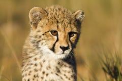 猎豹接近  免版税图库摄影