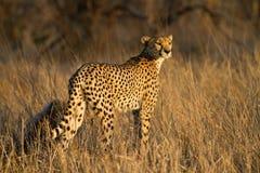 猎豹母亲 库存照片
