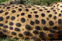 猎豹毛皮 库存图片