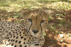 猎豹特写镜头在内罗毕中,肯尼亚, KWS肯尼亚野生生物服务的非洲的动物设施 免版税库存照片