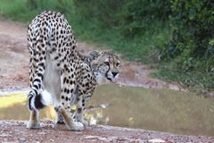 猎豹狂放猫喝 免版税库存照片