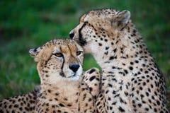 猎豹狂放的猫对 库存图片