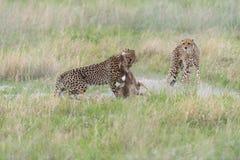 猎豹狩猎和杀害 免版税库存照片