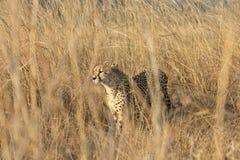 猎豹狩猎 免版税库存图片