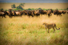 猎豹狩猎 免版税图库摄影