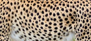 猎豹的特写镜头皮肤 库存图片