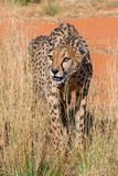 猎豹纳米比亚 免版税库存图片