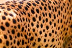 猎豹纹理 免版税库存照片