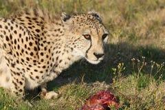 猎豹肉 库存图片