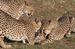 猎豹获取的肉 免版税库存照片