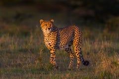 猎豹被点燃反对黑暗的背景,马塞语玛拉,肯尼亚 图库摄影
