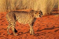 猎豹警告-纳米比亚非洲 库存图片