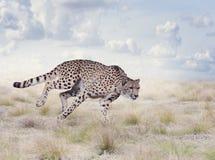年轻猎豹赛跑 库存照片