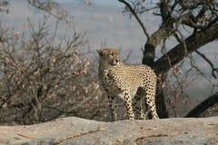 猎豹身分 库存照片