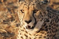 猎豹非常特写镜头  免版税库存照片