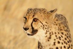 猎豹非常特写镜头 图库摄影