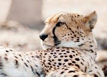 猎豹面孔显示毛皮细节的特写镜头画象 免版税库存图片