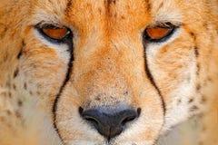 猎豹面孔,猎豹属jubatus,细节野猫特写镜头画象  在土地的最快速的哺乳动物,恩克塞盐沼国家公园,博茨瓦纳 免版税库存照片