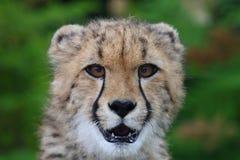 猎豹题头 免版税库存图片