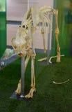 猎豹骨骼骨头 免版税库存照片