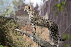 猎豹,猎豹属jubatus,在树干站立 图库摄影