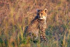 猎豹崽拍摄了serngeti坦桑尼亚 图库摄影