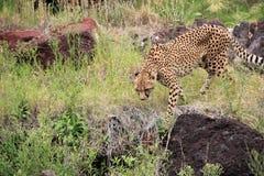 猎豹(猎豹属jubatus)。 免版税库存照片