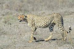 猎豹(猎豹属jubatus)在大草原 库存图片